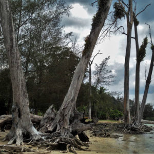 Uprooted trees in the Andaman