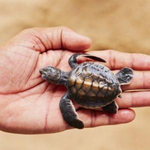 newborn turtle in Andaman