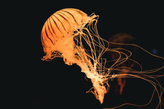 A jellyfish in the Andaman Sea